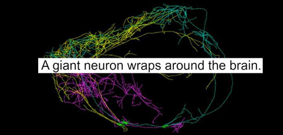 claustrum_neuron